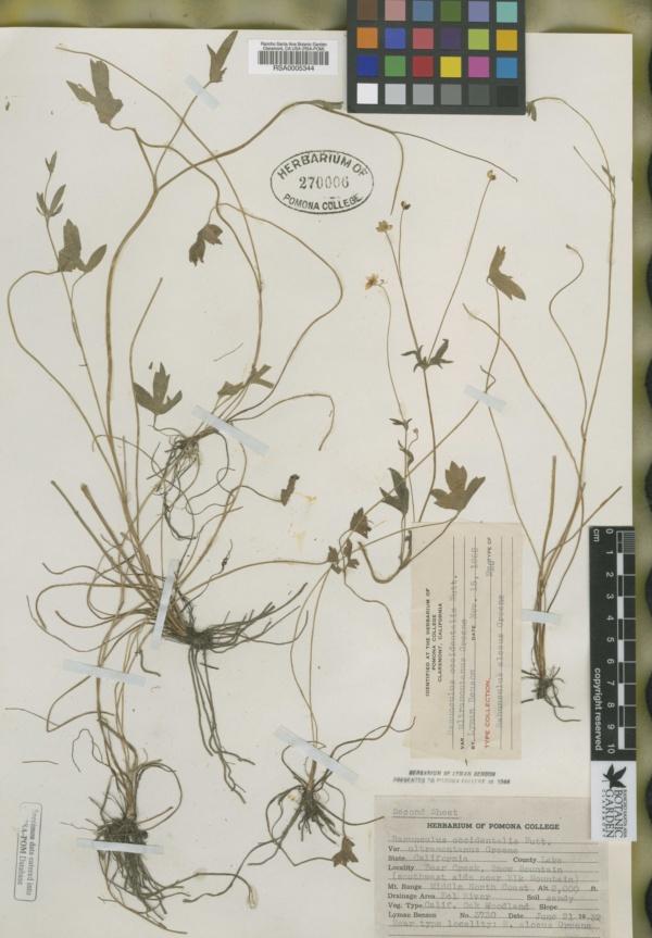 Ranunculus alceus image