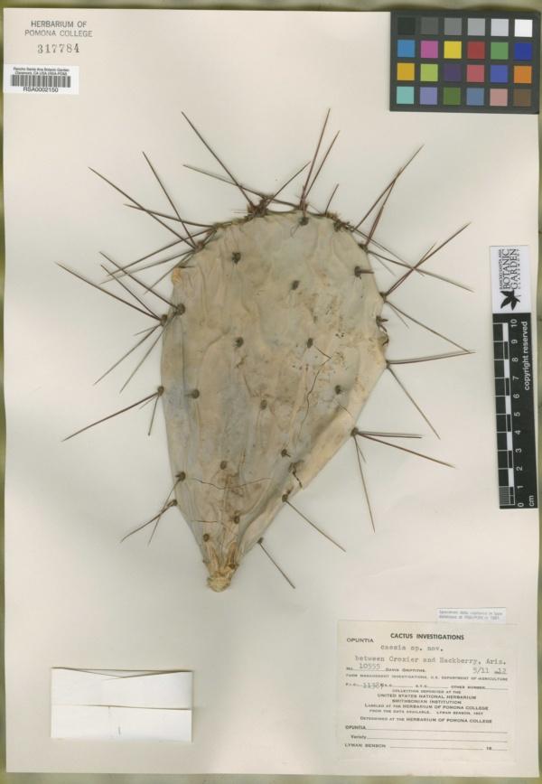 Opuntia caesia image