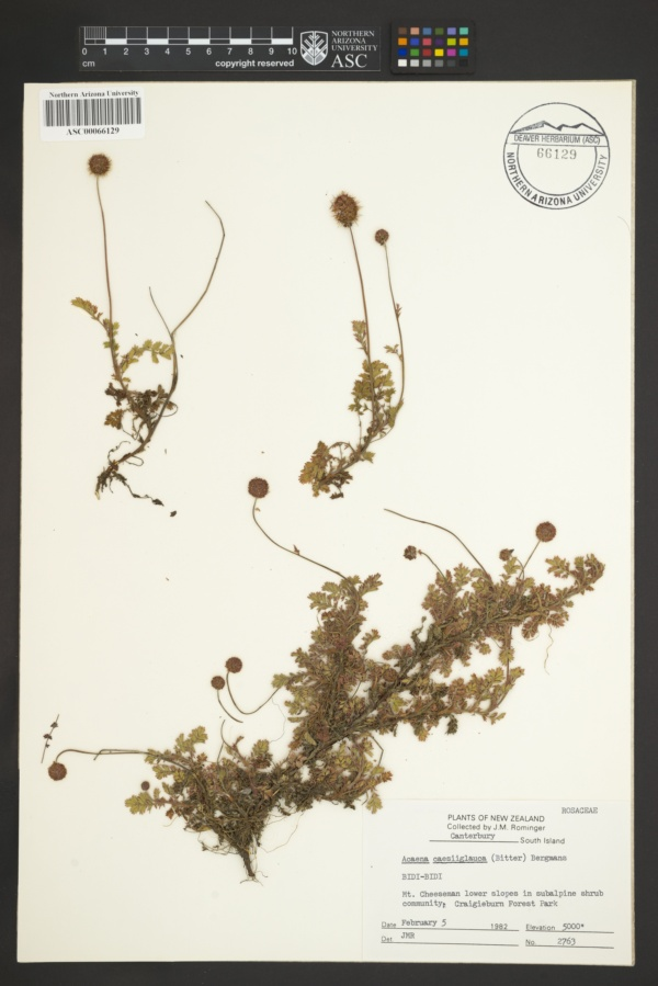 Acaena caesiiglauca image