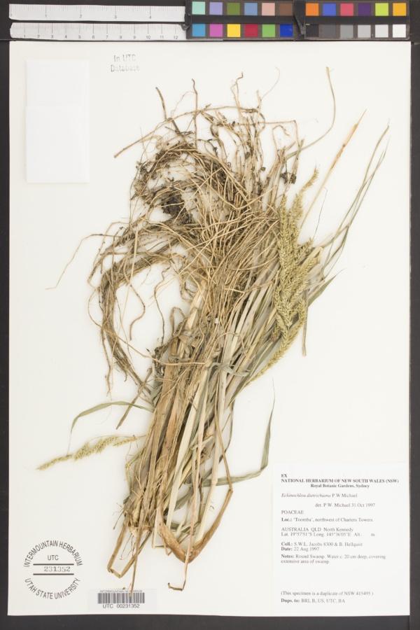 Echinochloa dietrichiana image
