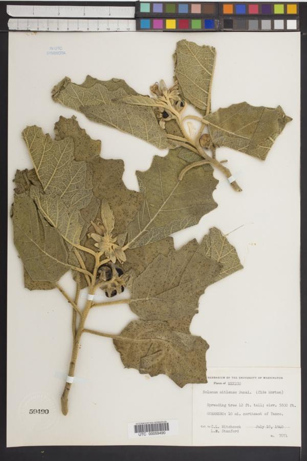 Solanum mitlense image