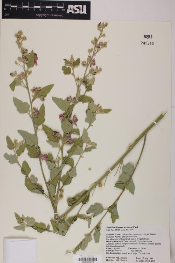 Sphaeralcea incana subsp. cuneata image