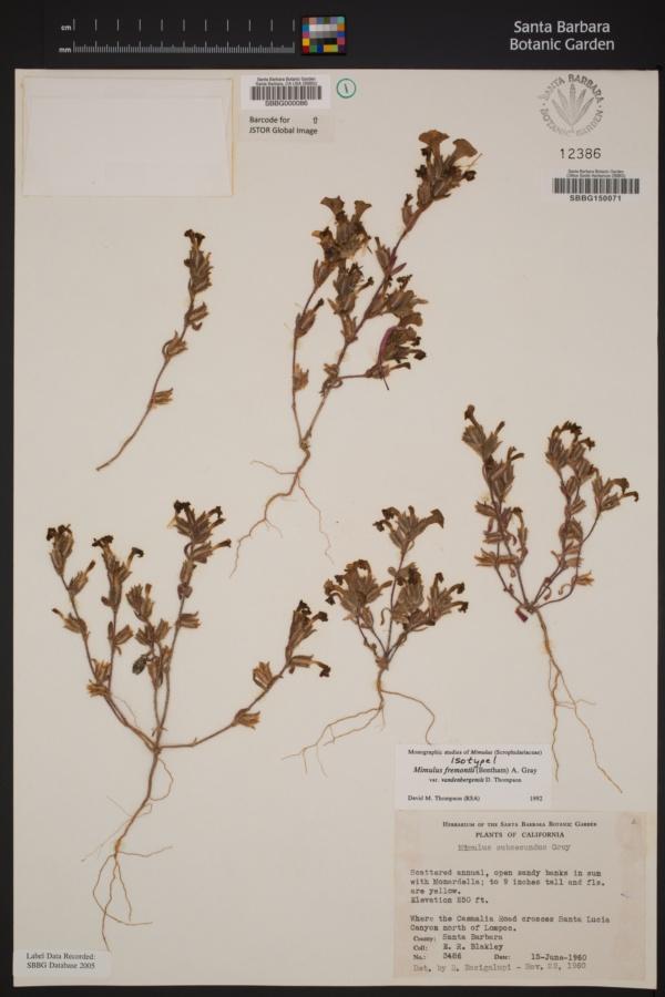 Diplacus vandenbergensis image