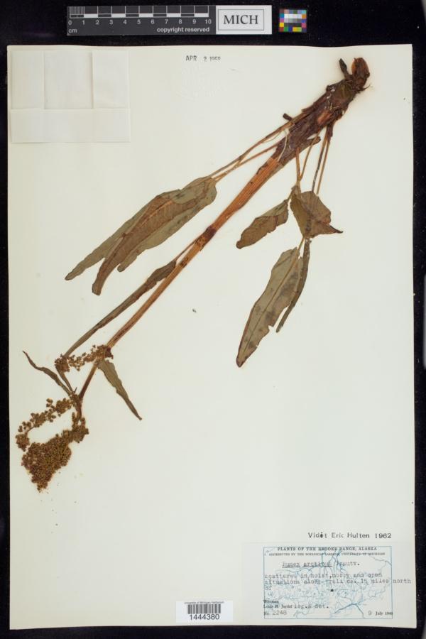 Rumex arcticus image