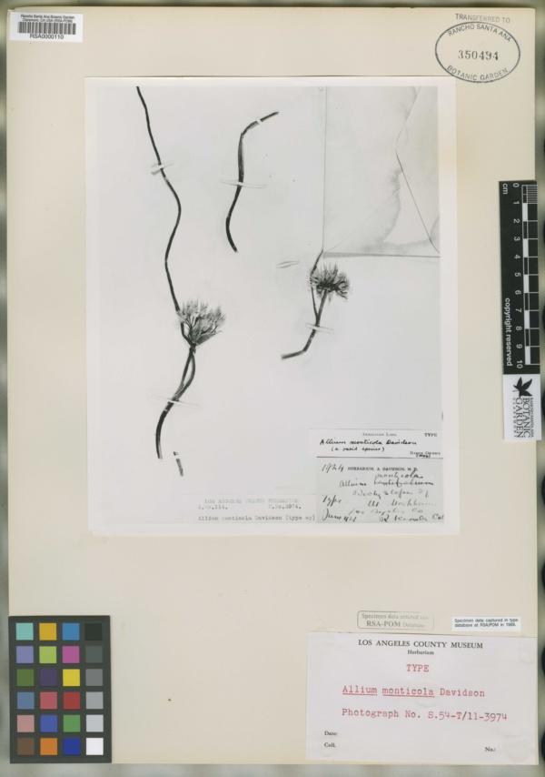 Allium monticola image
