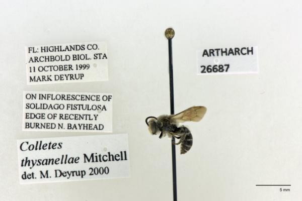 Colletidae image
