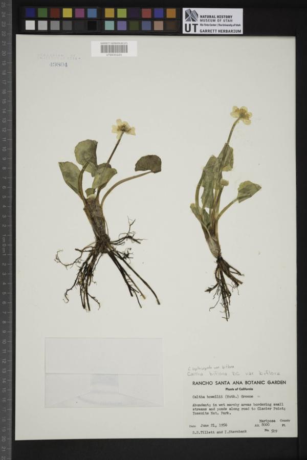 Caltha leptosepala var. biflora image