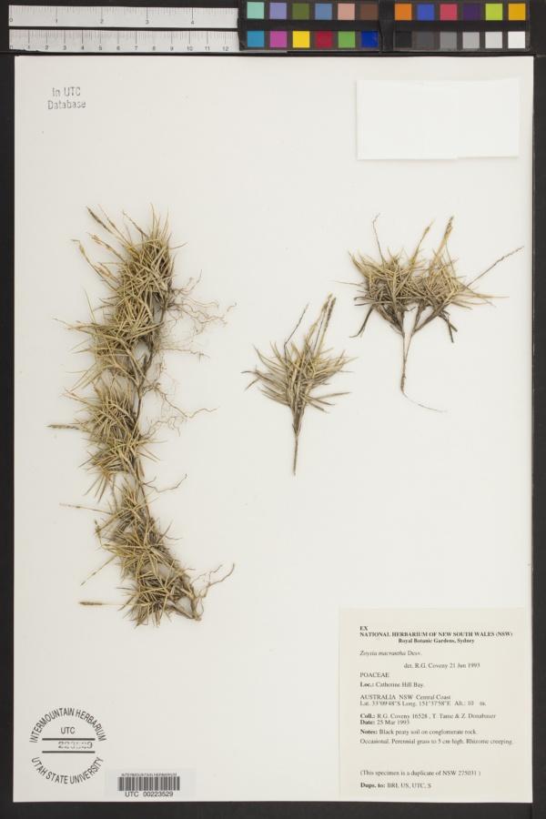 Zoysia macrantha image