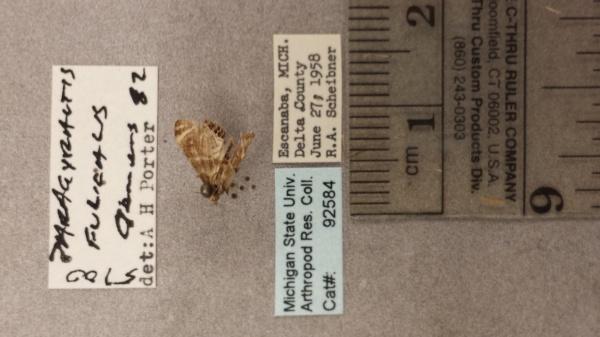 Petrophila image
