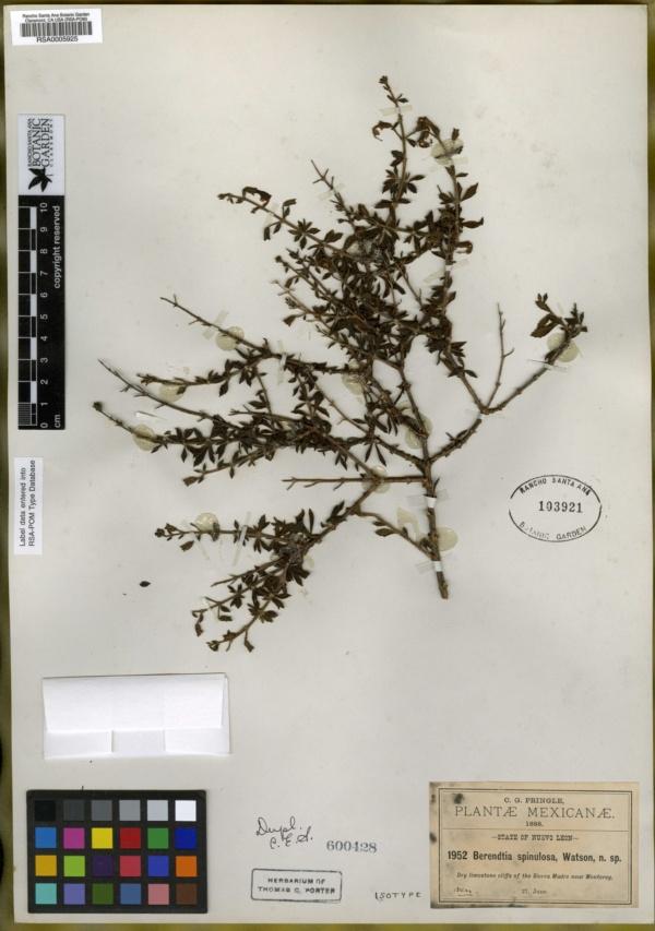 Berendtia spinulosa image