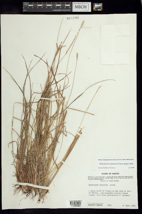 Schizachyrium salzmannii image