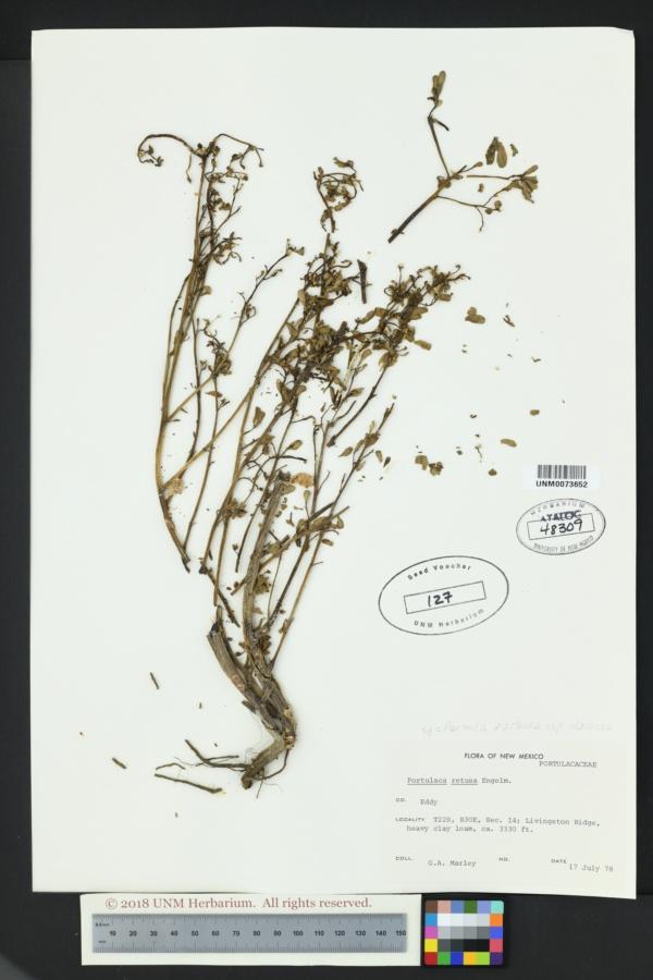 Portulaca oleracea var. oleracea image
