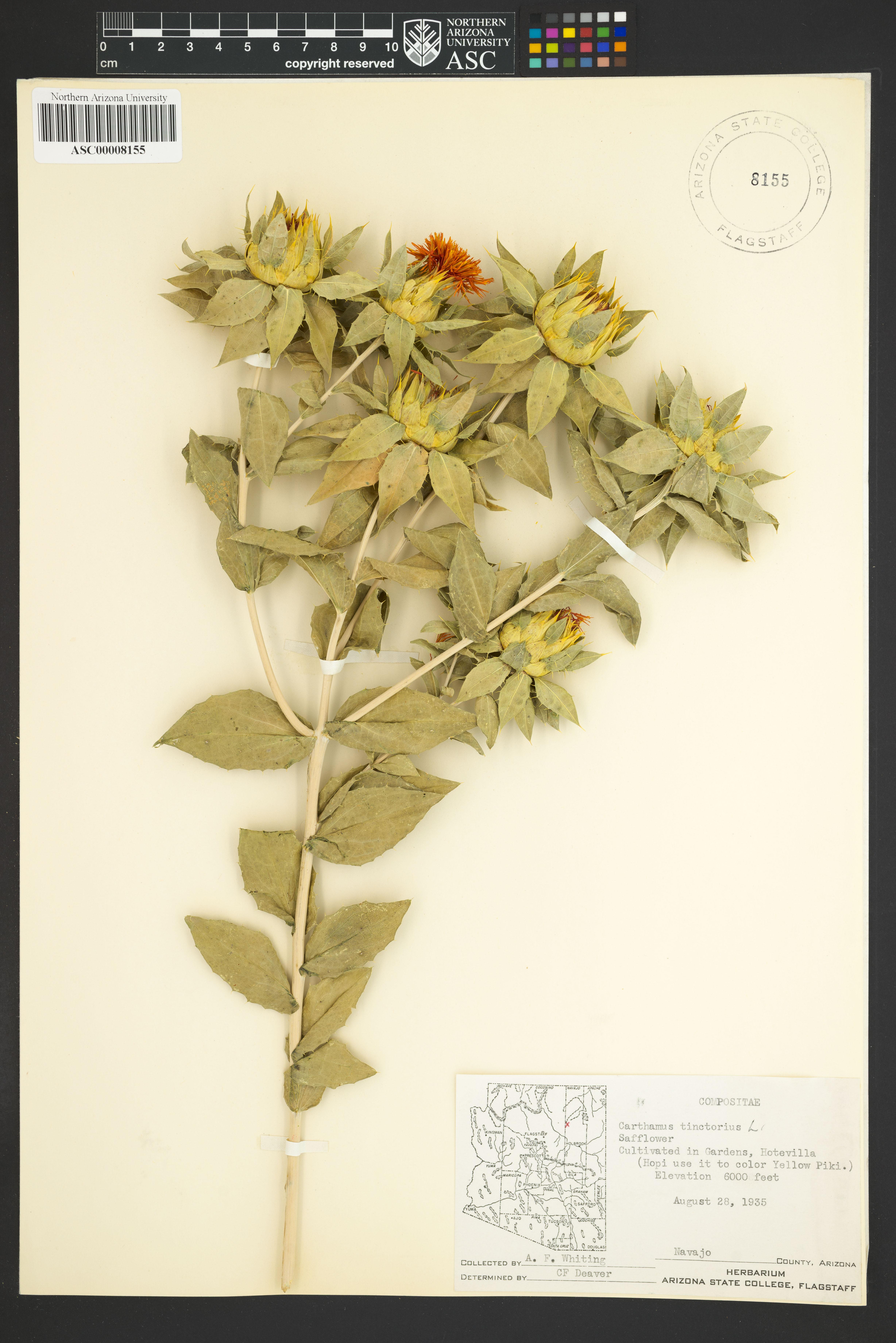 Carthamus yellow fdating