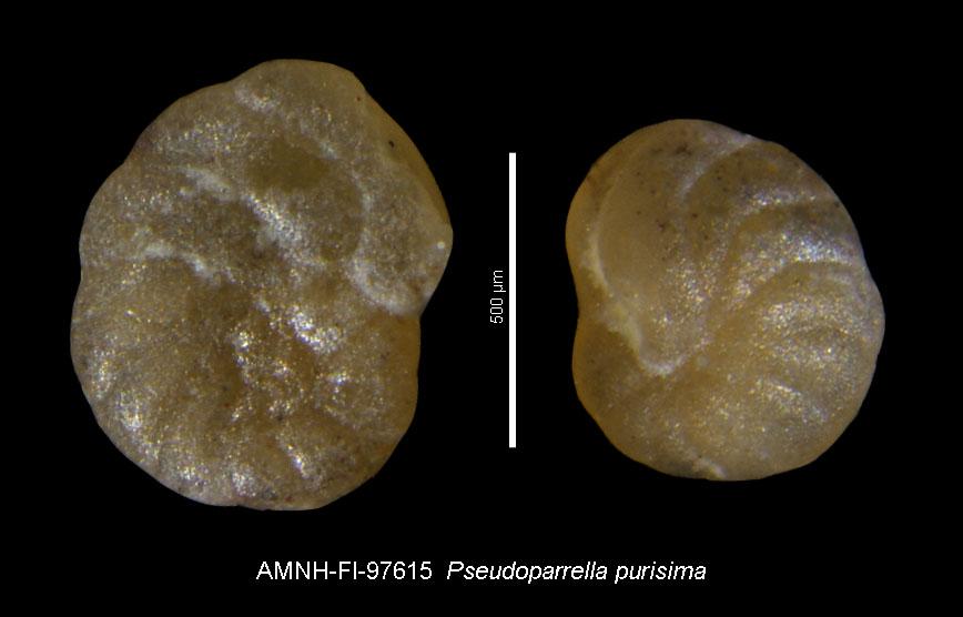 To AMNH Invertebrate Paleontology Collection